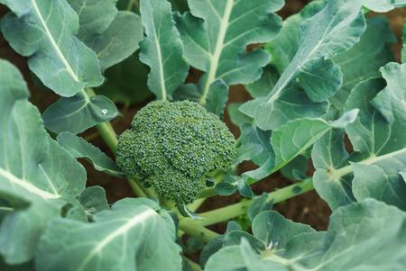 young broccoli plant Foto de archivo