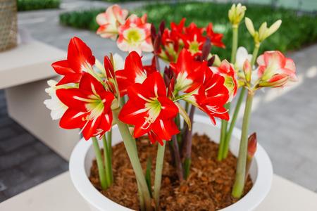 amaryllis flowers Banque d'images
