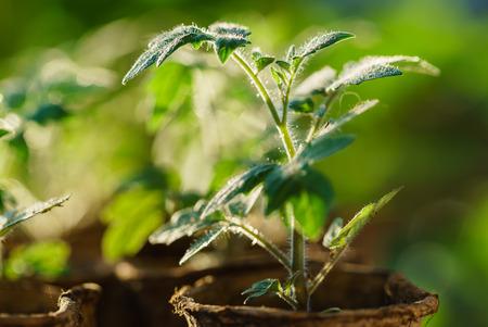 Tomatenplanten in de vroege stadia van de groei. Stockfoto - 84370831