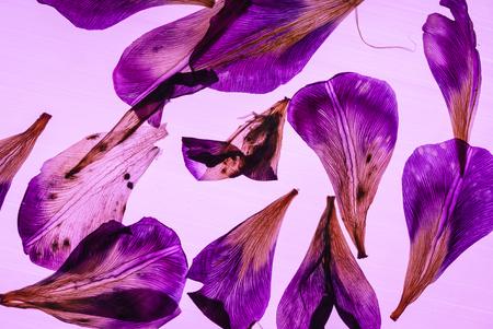 Petali di iris su sfondo rosa Archivio Fotografico - 84643940