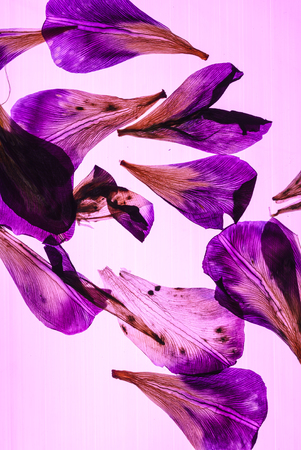 iris petals on pink background Stock Photo