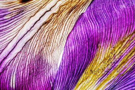Iris petali closeup Archivio Fotografico - 85531688