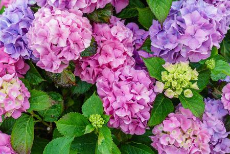 Hydrangea flores Foto de archivo - 85688515