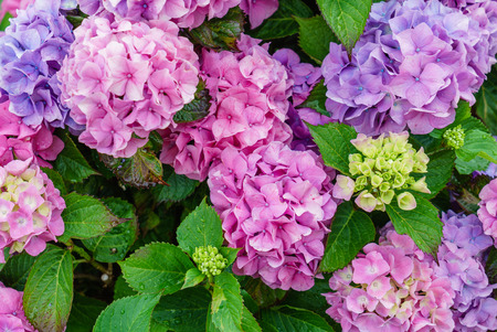 hydrangea flowers Zdjęcie Seryjne - 85688515