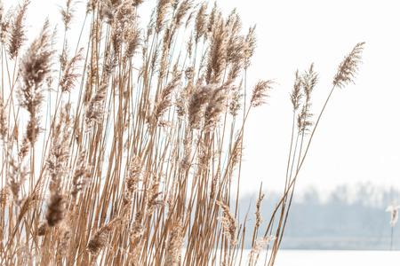 Seedy reed stalks Reklamní fotografie - 86577110