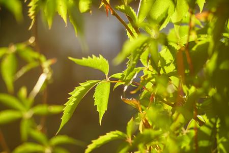 野生ぶどうの葉 写真素材