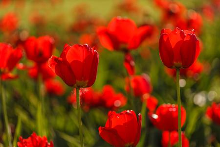 nice tulips Banco de Imagens