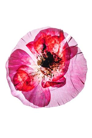 dry poppy flower