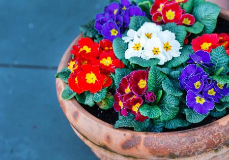 primrose flowers Stok Fotoğraf