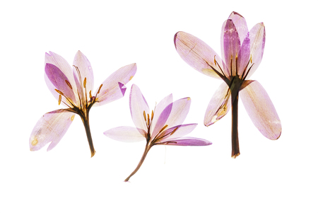 乾燥のクロッカスの花 写真素材