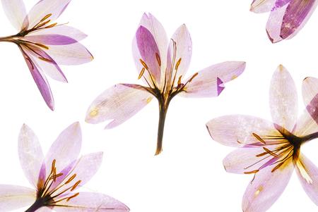 dry crocus flowers Stock Photo