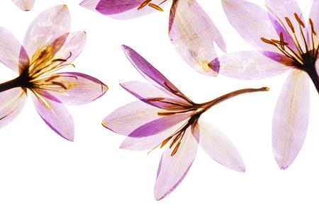 dry crocus flowers 版權商用圖片