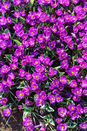 크로커스 꽃 스톡 콘텐츠