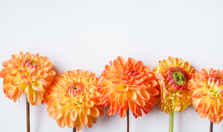 orange dahlias on the white background