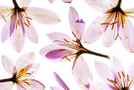 ドライクロッカスの花 写真素材