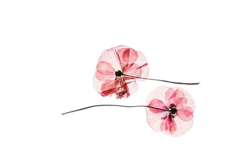 乾いたケシの花