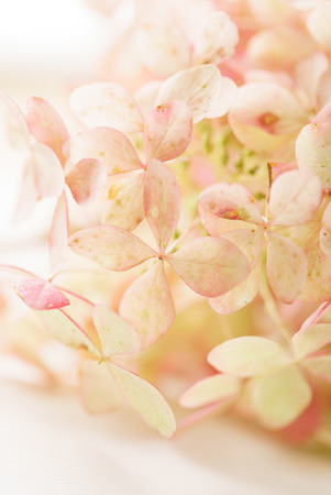 hydrangea flowers on the white background