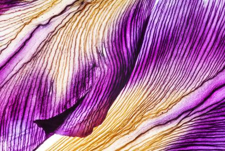 Closeup petali di iris Archivio Fotografico - 90524055