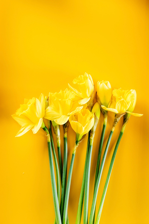 yellow narcissus on the yellow background