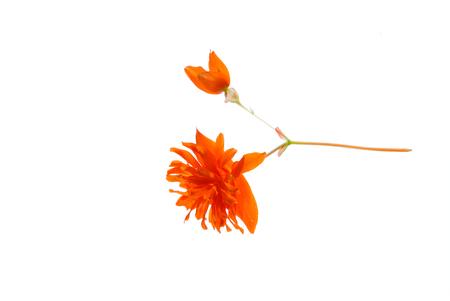 オレンジ色の花孤立 写真素材