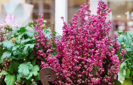 heather flowers outdoor Foto de archivo