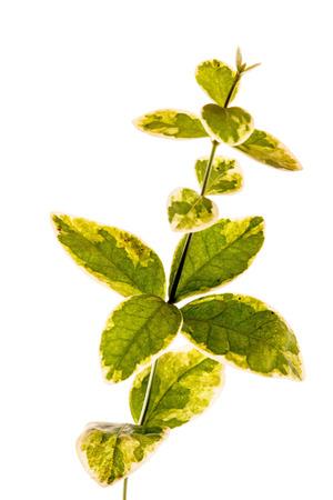 isolated euonymus plant Stock fotó