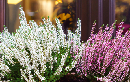 heather flowers outdoor Stock Photo
