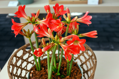 amaryllis flowers in the pot
