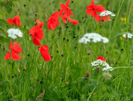 field with poppy flowers