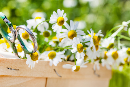 camomile flowers in the basket Stock Photo