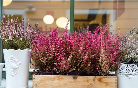 heather flowers outdoor Stockfoto