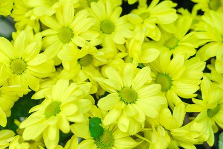chrysant bloemen close-up Stockfoto