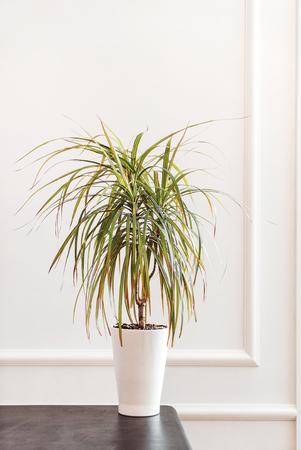 dracaena plant in the pot