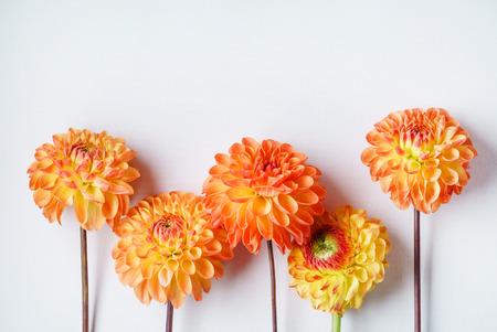 白い背景にオレンジ色のダリア