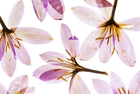 건조한 크로커스 꽃