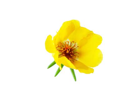 パースレーンの花孤立