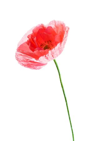 절연 양 귀 비 꽃