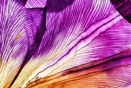 Closeup petali di iris Archivio Fotografico - 93597179