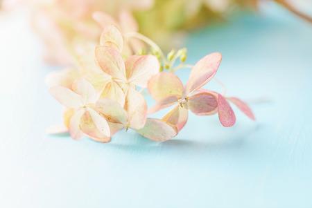 hydrangea flowers on the blue background 스톡 콘텐츠