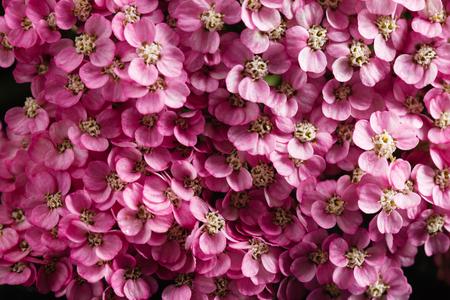 yarrow flower closeup