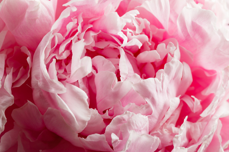peony flower closeup Stock Photo