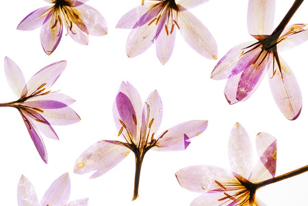 乾燥したクロッカスの花