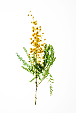 mimosa branch isolated Stock Photo