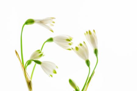 sneeuwklokje bloemen op de witte