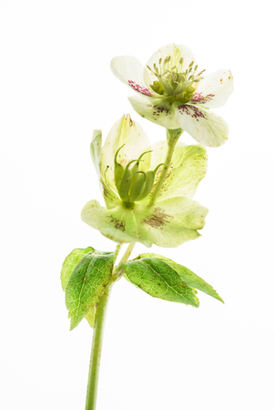 hellebore flower on the white