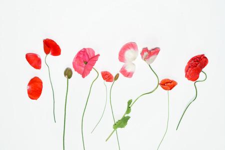 poppy flowers on the white