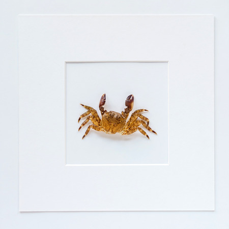 crab in the white frame