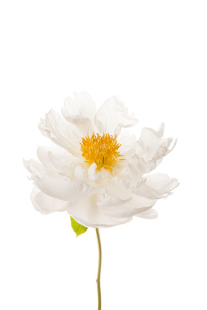 peony flower on the white