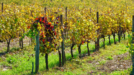 autumn vineyard with grapes