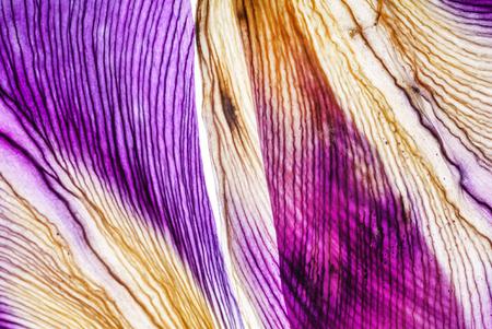 iris petals closeup Archivio Fotografico - 95032345